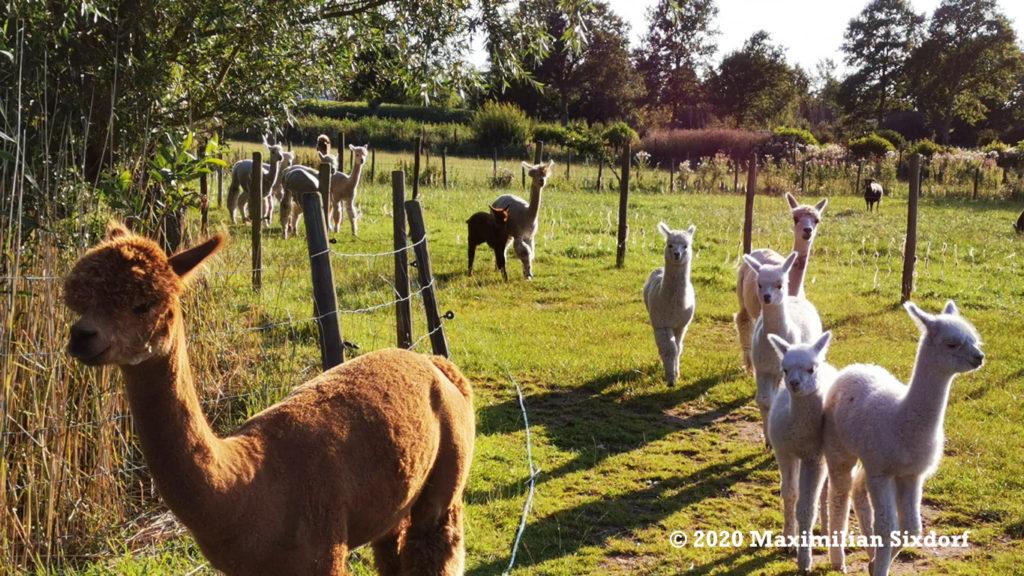 Alpakas und Schafe auf Hof Wiedwisch